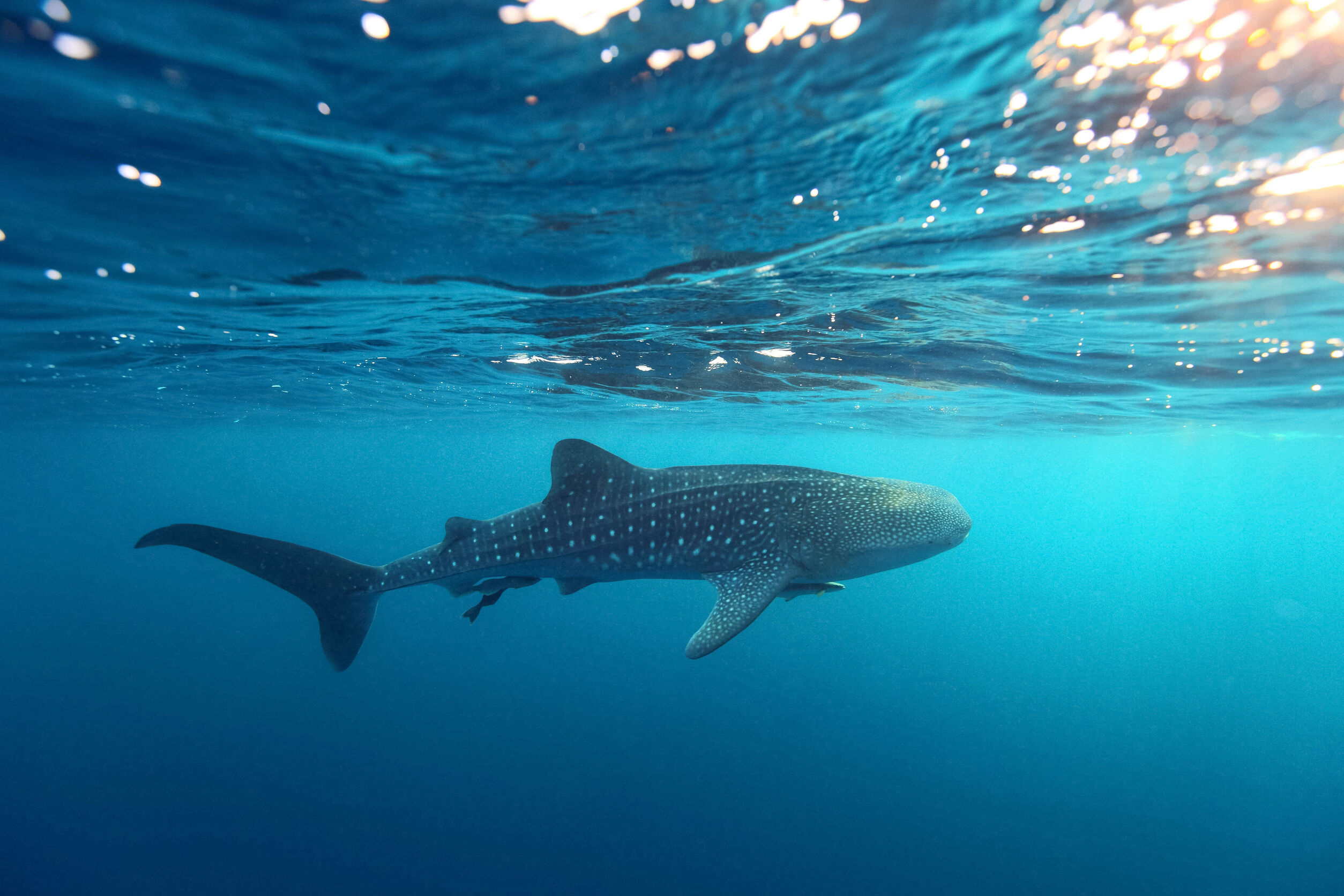 Where to swim with whale sharks in Mexico