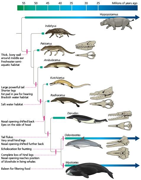 dolphin-evolution-delphinus.jpg