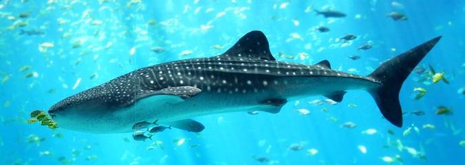 Whale-Shark-Delphinus.png